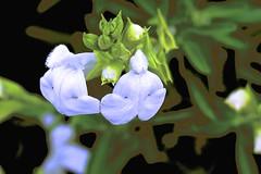 Fluffy Flora! (maginoz1) Tags: abstract art manipulate flowers flora summer december 2016 bullarosegarden melbourne victoria australia canon g3x