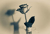 Me and My Shadow (cathbooton) Tags: rose vase shadow double flower nature stilllife indoor canoneos canonusers canon6d bow rafia glass petals leaves stem splittone