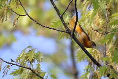 Baltimore Oriole 2 (fredhosley) Tags: bird nature spring big pond wildlife massachusetts may baltimore migration wma chauncy westborough oriole 2014 wmat