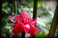 The Answer-where is it? (J316) Tags: red flower thailand prayer tropical bloom layers bud peel scripture betong beautifulearth j316 piyamit bethong
