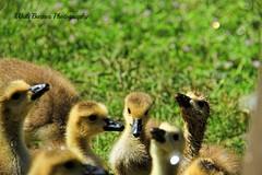 Canadian Geese (Walt Barnes) Tags: bird nature canon eos scenery wildlife scene richmond calif goslings canadiangeese topaz 60d millerknox canoneos60d topazadjust eos60d ebparksok wdbones99