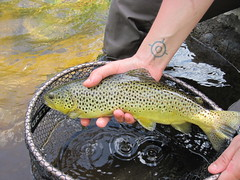 Ausable river brown trout (ruffwatersflyfishing) Tags: salmon adirondacks trout streamers adirondack browntrout troutfishing saranacriver brooktrout johnruff catchandrelease troutflies adirondackflyfishing adirondackdryflies ausableriverflyfishingflies besttroutflies classicstreamers bestnewyorkflyfishing