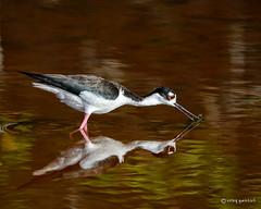 Quiet Morning (craig goettsch) Tags: bird nature nikon blackneckedstilt wildlife ngc npc avian baileytract dingdarlingnwr d7100 usnwr beautiesbeasts