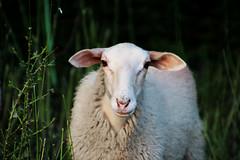 sheep portrait (Jules Marco) Tags: nature animal austria österreich sheep natur animalplanet niederösterreich waldviertel schaf loweraustria woodquarter