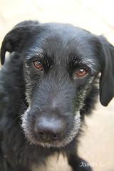 monty (ducati0872) Tags: dog pet eyes labrador lurcher
