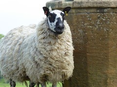 Sheep (laura.piepad) Tags: uk england sheep cotswolds nationaltrust viewpoint chippingcampden dovershill