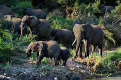 Elephant herd (Rob McC) Tags: elephant herd biggame matriarch gamereserve southafrice chisomo tachiderm