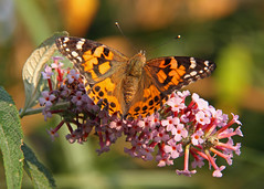 Pet Painted Lady (Treflyn) Tags: uk wild pet lady butterfly garden reading back painted wildlife united daughter kingdom caterpillar after berkshire looked earley