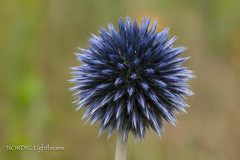 P7205100.jpg (NORDIC Lightbeams) Tags: blue macro blossom bokeh blau makro blüte kiron m43 mft fourthirds primelens manuallens manuellesobjektiv vivitar11100mmf28