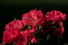 Shrub Rose ~ Michigan (j van cise photos) Tags: light red flower color rose flora blossom michigan bloom shrubrose afsnikkor70200mmf28gedvrii continentalunitedstates nikond7100 pressltoenlarge