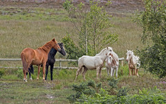 Horses On Hartland Moor, National Nature Reserve Near Wareham, Isle Of Purbeck, Dorset, England, Uk. (PANDOOZY PHOTOS) Tags: uk england horses nature affection group reserve national dorset trust arne moor isle affectionate purbeck hartland wareham behaviour isleofpurbeck