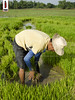 Bunot 04 (Seedlings Pulling) (ilusyonimages) Tags: street asian photography asia farm philippines farming images illusion filipino farmer ricefields ilusyon