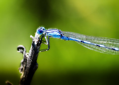 Hairy Damselfly (Steve Corey) Tags: insect damselfly flyinginsect strangeinsect blueinsect hairinsect
