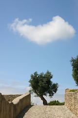 Oliveira no caminho (Jorge Laurentino) Tags: blue sky cloud white branco azul canon eos rebel 300d olive cu nuvem pathway caminho olivetree calada oliveira