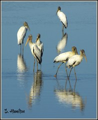 Birds of a Feather Flock Together (Suzanham) Tags: lake bird nature reflections wildlife waterfowl woodstork specanimal