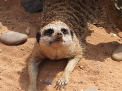 At the Yorkshire Wildlife Park (DaznLou) Tags: park zoo meerkat wildlife yorkshire lion lemur wallaby doncaster ywp