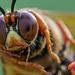 Cicada Killer Wasp Closeup
