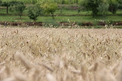 La campagne, l't (Mademoiselle N) Tags: summer yellow jaune countryside wheat dry sec t cereals campagne bl crales