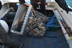 Pêche des coquilles Saint Jacques