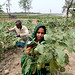 Farm workers harvesting eggplants in Khulna, Bangladesh. Photo by M. Yousuf Tushar. April 17, 2014
