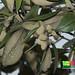 Api-api bulu (Avicennia rumphiana)