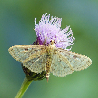 Moth on Creeping Thistle