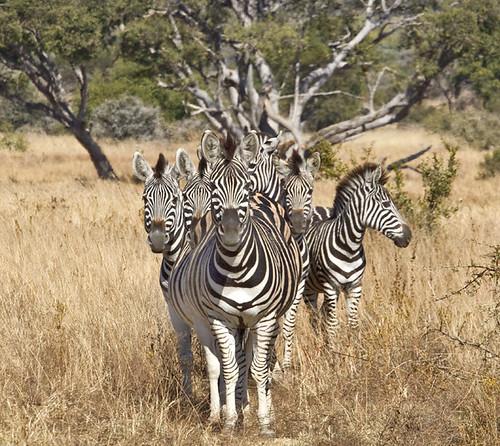 Burchell's Zebra Wgfdn_2624
