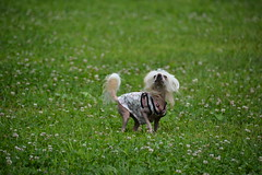 """LuLus Getting Ready To HOW Which She Learned From Her WooFPAK Mates • <a style=""""font-size:0.8em;"""" href=""""http://www.flickr.com/photos/96196263@N07/14879851851/"""" target=""""_blank"""">View on Flickr</a>"""