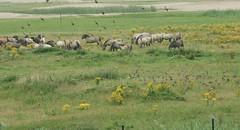 Koniks (Ton Smilde) Tags: oostvaardersplassen konikhorses naturereserveinthenetherlands