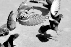 Pigeons (Yuta Ohashi LTX) Tags: bw white black bird monochrome lens prime nikon pigeon f14 voigtlander sl fixed 58mm ll nokton   focal     d90  5814   nikond90   focallens nokton5814slll
