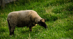 201408-Scharfe-5980 (jerdlingshof) Tags: green sheeps wz scharfe erdlingshof
