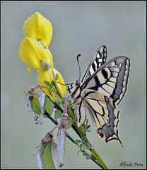 Papilio machaon (alfvet) Tags: macro nature ngc butterflies natura npc farfalle sigma150 parcodelticino veterinarifotografi d5100