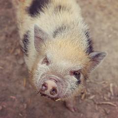 Gullegris! (Cecilia Adolfsson) Tags: square gris pig squareformat animalpark amaro minigris canon6d iphoneography instagramapp
