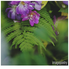 066 (imagepoetry) Tags: summer plant flower green garden blossom bokeh leafes pur a65 imagepoetry sonyalpha gardenlover ipoetry