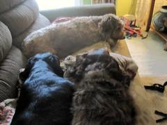 Good Boy (Tobyotter) Tags: frank link dachshunds jimmydean