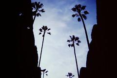 palms, Alcazar, Seville (Erik's pictures) Tags: trees sevilla spain seville palm alcazar