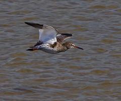 Redshank 2 (Clive Brown 72) Tags: water wales coast flying coastal calling redshank wader
