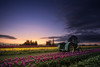 As night falls, I dream of the sun (Ben_Coffman) Tags: flowers sunset oregon rural twilight tulips farm tulip pacificnorthwest johndeere tulipfield tulipfestival willamettevalley johndeeretractor bencoffman bencoffmanphotography