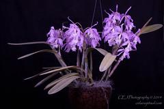 CEJ_2014-4565_1_AOSJud_20140727_IMG_0171_CEJ_W.jpg (celainej) Tags: white plant orchid flower green yellow purple orchids bg aos lavandar cmaxima 20144565