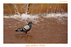 La dolce vita (Ferranet) Tags: barcelona water fountain canon agua pigeon fuente paloma font catalunya aigua colom 60d tamron18270