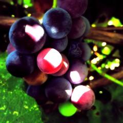 shaded (saudades1000) Tags: wine vine grapes uvas