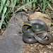 Coluber constrictor (Black/Yellow-bellied Racer)