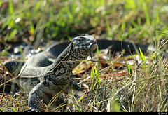 Monitor lizard (Usha Harish) Tags: africa animals reptile wildlife lizard botswana chobe specanimal