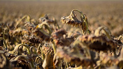 Withering Sunflowers (Chris Lakoduk) Tags: flowers landscapes scenery sunflowers farms farmlands landscapephotography harvestseason harvestsunflowers landscapefarms