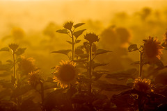 Sunflowers In The Dust (Robin-Wilson) Tags: flowers summer dusty field bravo colorado bokeh farm denver sunflower dirtroad backlit eveninglight milehigh compressed nikond800