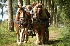 DSC_0230 (Ton van der Weerden) Tags: horses horse dutch de cheval van der nederlands belges ton draft chevaux belgisch trait trekpaard trekpaarden weerden
