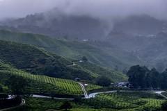 Misty tea plantation morning (zol m) Tags: highlandtea malaysia klickr mistymorning mist pahang cameronhighlands sgpalas bohtea teaplantation xpro2 fujinon fujifilm zolmuhd zolsimpression