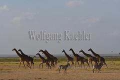 10076045 (wolfgangkaehler) Tags: 2016africa african eastafrica eastafrican kenya kenyan amboseli amboselikenya amboselinatlparkkenya amboselinationalpark wildlife mammal giraffe giraffes giraffacamelopardalistippelskirchi herd tower group burchellszebra burchellszebraequusquagga burchellszebras running galloping