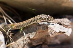 Balkan-Zornnatter (ewiggestrig) Tags: snake balkanzornnatter natter hierophisgemonensis kroatien croatia luka dugiotok reptilien balkanangernatter