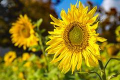 you are my sunshine... (werner boehm *) Tags: wernerboehm sonnenblumen sunflower blte natur